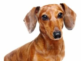 Photo of a Dachshund dog.
