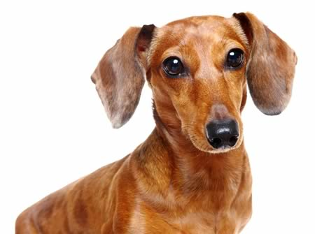 Andy the Dachshund Walks thanks to 3D-assisted Surgery
